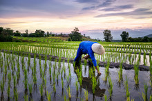 Farmers Farming On Rice Terrac...