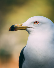 Seagull Portrait Beak
