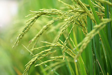 Close To Rice Plant On Paddy F...