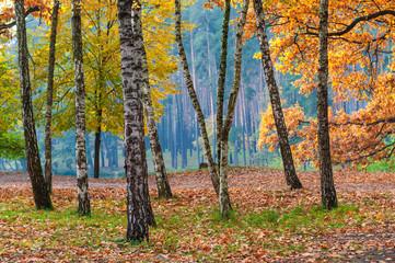 Fototapeta Las Sunny meadow in the autumn birch forest.