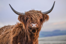 Highland Cow, Yorkshire Dales