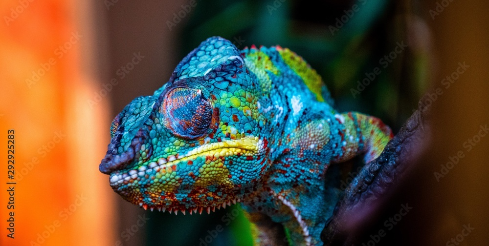 Fototapeta chameleon with amazing colors