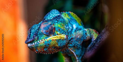 Fototapeta chameleon with amazing colors obraz