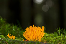 Brightly Coloured Yellow Stag-horn Fungus, A Coral Fungus, Growing In Moss On A Tree Trunk In A Dark Forest