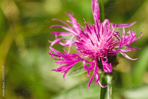 Centaurea jacea flower close up