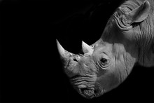 Rhinoceros Head On Black Backg...