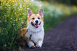 canvas print picture - cute puppy a red Corgi dog sits in a meadow by the road in a village surrounded by white chamomile flowers on a Sunny clear summer evening sticking out his tongue