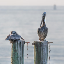 Brown Pelicans At Rest On Old ...