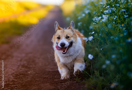 Obraz cute puppy a red Corgi dog walks along the road in the village surrounded by white Daisy flowers on a Sunny clear summer day - fototapety do salonu