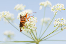 Red-legged Shieldbug In White ...