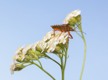 Forest Bug On White Milfoil Inflorescence