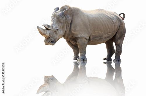 Poster Neushoorn Rhinoceros walk scene. Rhino portrait