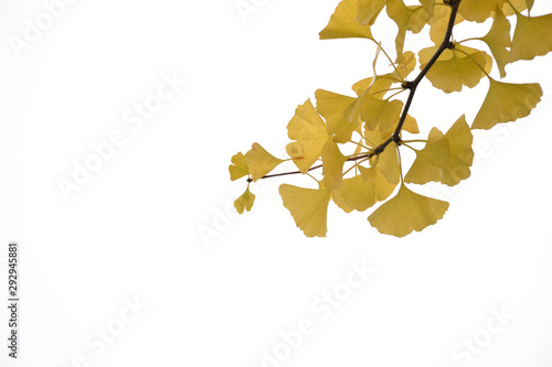 Yellow leaves of Ginkgo - Maidenhair Tree. Canvas Print