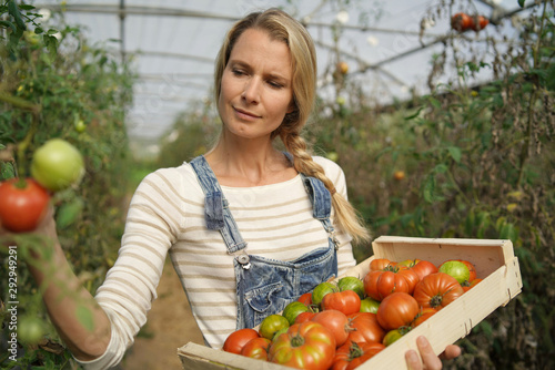 obraz lub plakat Farmer woman in greenhouse picking organic tomatoes