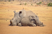 Rhino Missing A Horn Relaxing On The Savannah