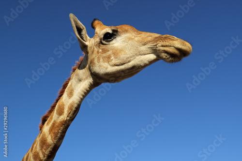 Photo Wide-angle portrait of a giraffe (Giraffa camelopardalis) against a blue sky, South Africa