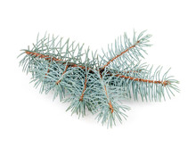 Blue Spruce Branch Isolated On White Background Close-up