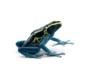 The Poison Dart Frog Isolated ...