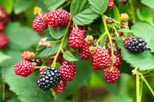 Fényképezés  ripe and unripe blackberries on the bush with selective focus