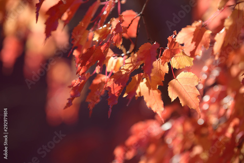 Foto auf Leinwand Koralle Beautiful colorful leaves in autumn forest. Red, orange, yellow, green and brown autumn leaves. Bush and tree foliage. Seasonal background.