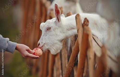 Photo Feeding goats apple. White goats behind the fence
