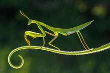 Praying Mantis On A Green Background