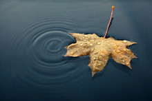 Autumn Marple Leaf On Rippled Water Surface. Top View