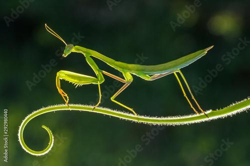 Obraz na plátně praying mantis on a green background