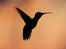 Hummingbirds In Sunset