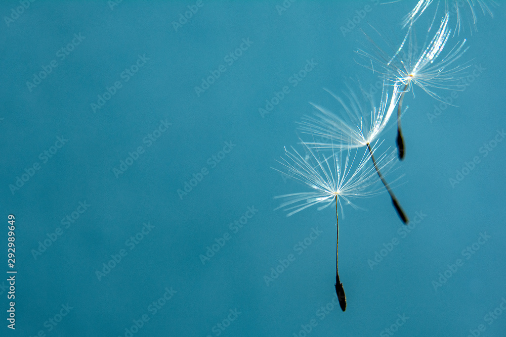 Dandelion seeds close up in abstract blue background. Copy space for text. Concept design.