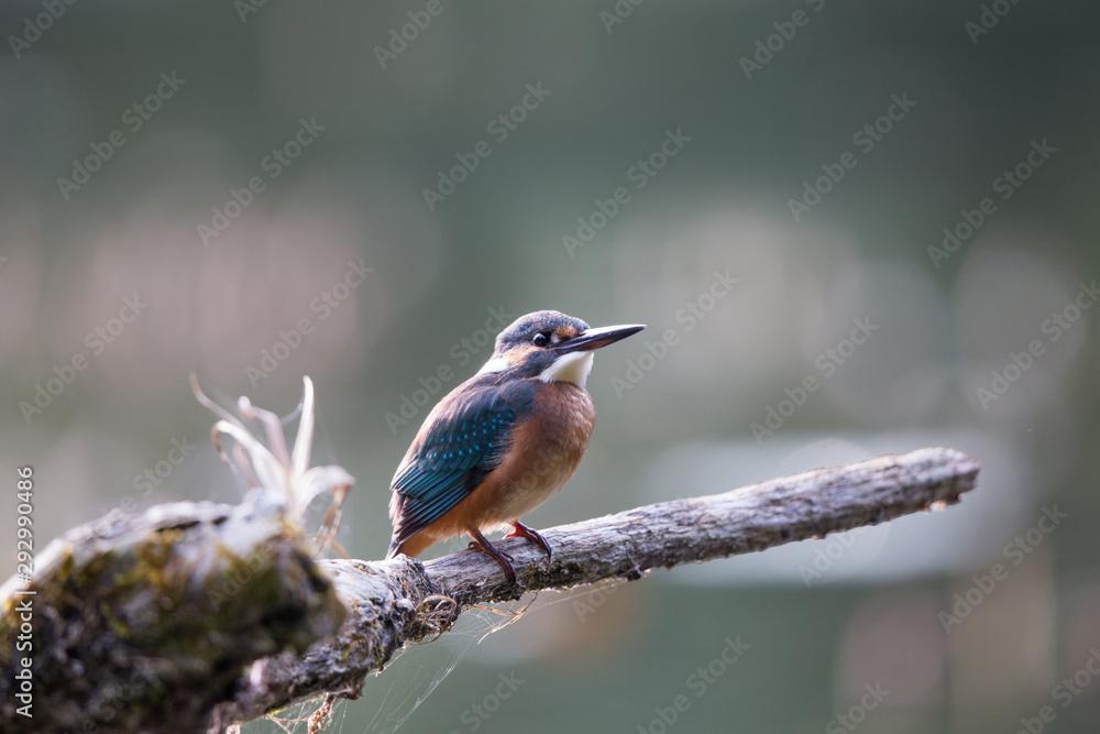 Fototapeta Kingfisher standing on branch