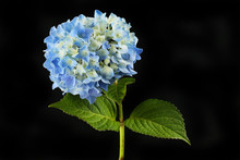 Blue Hydrangea Against Black