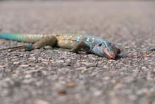 Cnemidophorus Murinus Dead Lizard On The Road Roadkill Close Up
