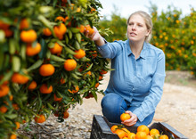 Portrait Of Smiling Woman Harvesting Tangerines