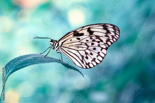 Photo sur Aluminium Papillon Large tree nymph butterfly, black and white tropical butterfly