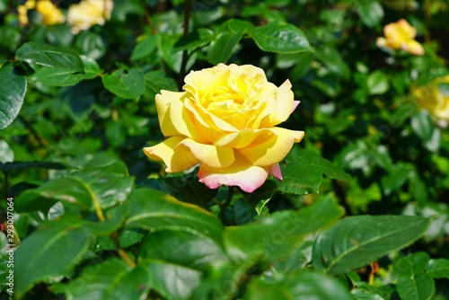 A fragrant yellow rose flower growing in the garden