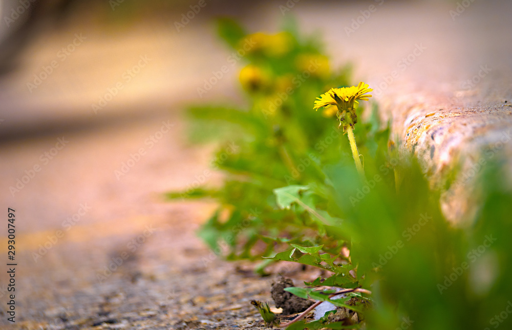 Fototapeta Dandelion at Curb
