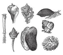 Vintage Engraving Of Gastropods
