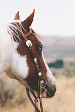 Paint Mare In Western Tack In Field