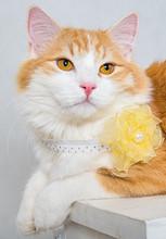 Portrait Of Ginger White Longh...