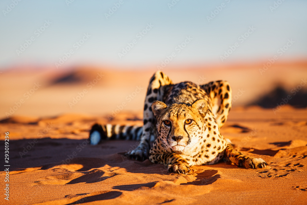 Fototapeta Cheetah in dunes