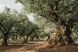 Leinwanddruck Bild - Olive Grove on the island of Greece. plantation of olive trees.