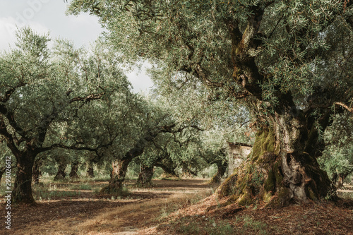 Fotobehang Khaki Olive Grove on the island of Greece. plantation of olive trees.