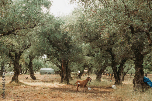 Cuadros en Lienzo Olive Grove on the island of Greece. plantation of olive trees.