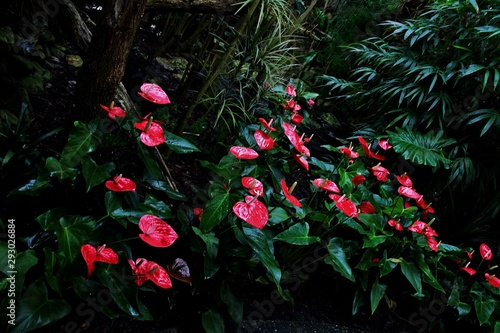 Horizontal shot of red calla flowers with long, white stamens in a peaceful fore Fototapet