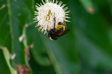 Bumblebee Pollinating White Bu...