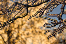 Sun Is Setting Behind Frozen Tree Branch After An Ice Storm In Toronto.