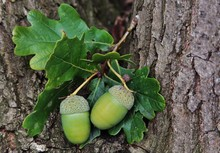 Closeup Shot Of Two Green Acorns And Green Leaves Growing On A Tree