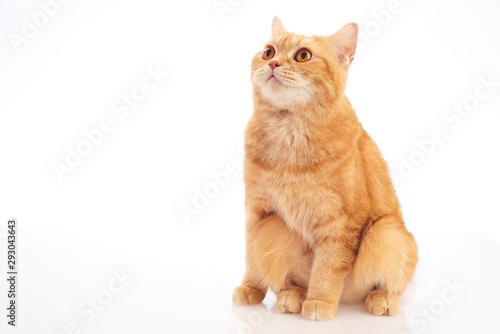 british shorthair cat Tablou Canvas