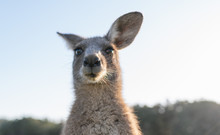 Wildlife Animal Young Child Kid Joey Kangaroo Australian Animal  Close Up Face